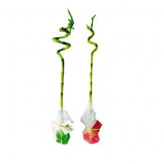 Canne chinoise torsadée dans papier fleuriste promotionnelle - TORSADEE