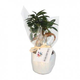 Ficus ginseng dans pot rond en céramique personnalisé - FICUS