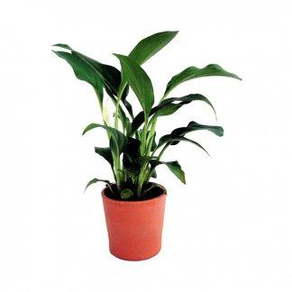 Mini plante dans pot en terre cuite - Spathy - MINIPOT