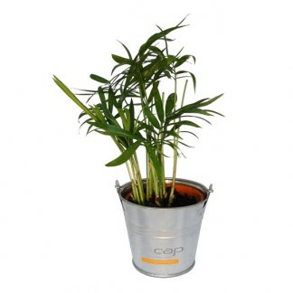 Mini plante dans pot en zinc personnalisé - Marquage cap MINIZINC
