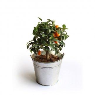 Oranger dans pot en zinc ou osier promotionnel - En situation - ORANGER
