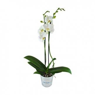Orchidée dans pot rond personnalisé - ORCHIDEE