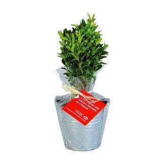 Plan d'arbre dans pot en zinc personnalisé - buis - POTZINC