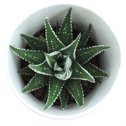 Plante Dans Gobelet Engrais Et Dôme Biodégradables SMOOTHIE PLANTE Dessus